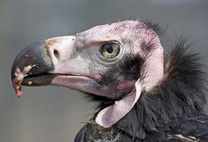 retrato de abutre foto