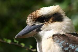 retrato de kookaburra
