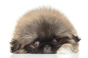 retrato de filhote de cachorro pequinês