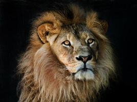 retrato de cabeça de leão foto