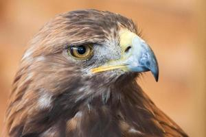 retrato de águia dourada