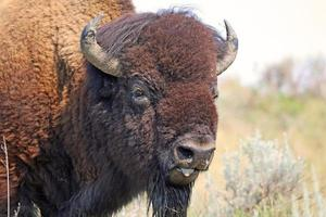 retrato de búfalo