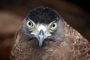 retrato de águia foto