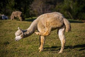 retrato de alpaca foto