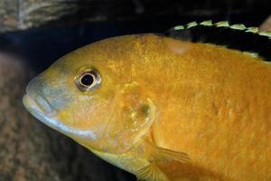 retrato de labidochromis foto