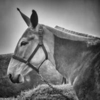 retrato de mula