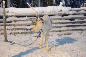renas de um chifre em ruka na lapônia na finlândia foto