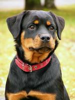 retrato de rottweiler