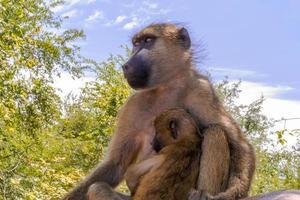retrato de babuínos foto