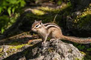 esquilo retrato pedra foto
