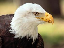 retrato de águia americana foto
