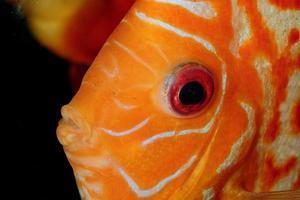 retrato de peixe discus foto