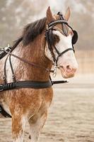 retrato de cavalo de carruagem foto