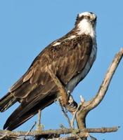 águia-pescadora de perto foto