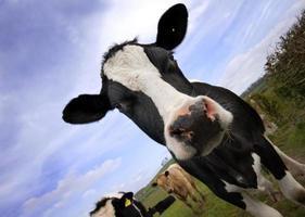 vaca de perto