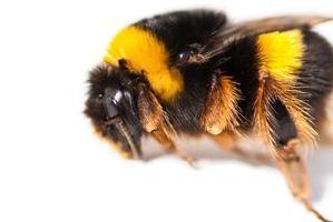close-up de abelha foto