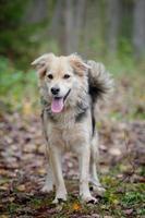 cão de raça misturada na floresta de outono