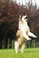 malamute do alasca foto