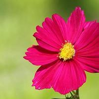 flor de cosmos sobre um fundo verde foto