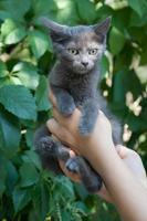 gatinho pequeno cinzento nas mãos de mulher, sobre fundo verde. foto