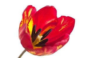 macro tulipa vermelha