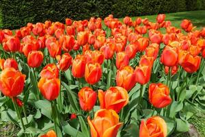 jardim tulipa colorida foto
