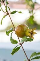 romã fruta no galho de árvore foto