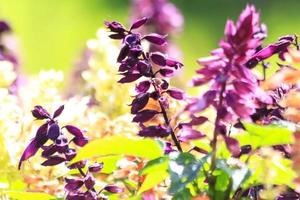 flor de salvia splendens foto