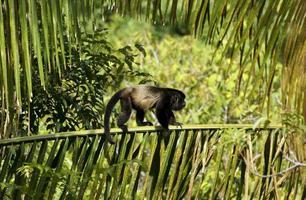 retrato de macaco bugio foto