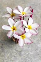 vista superior do monte adorável plumeria flor foto