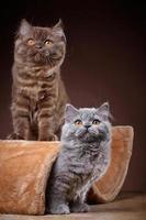 gatinhos de cabelos compridos britânicos foto