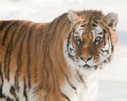 o tigre siberiano foto
