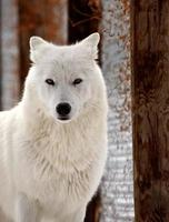 lobo ártico no inverno foto