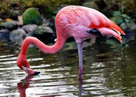 flamingo americano ou do caribe foto
