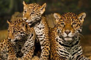 família onça-pintada foto