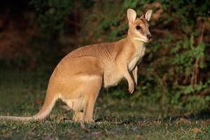 wallaby ágil foto