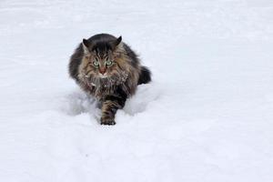 gato norueguês da floresta no inverno