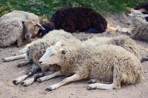 ovelhas foto