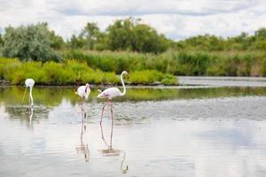 pássaros selvagens de flamingo no lago na França, camargue, provence foto