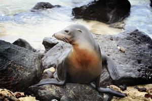 leão-marinho, desfrutando de um banho de sol foto
