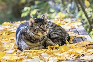 gato gosta da luz quente no outono foto