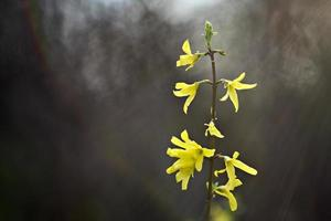 forsítia, na primavera
