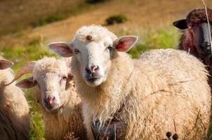 rebanho de ovelhas pastando nas colinas foto