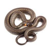 cobra (natrix natrix) isolada no branco foto