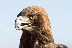 águia dourada foto