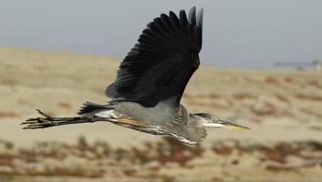 Garça-real de grande azul em voo foto