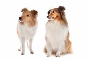 cães pastor de shetland foto