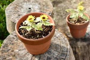 vaso de flores amarelas foram plantadas.
