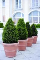 árvores ornamentais em vasos foto