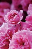 rosas de dorothy perkins foto